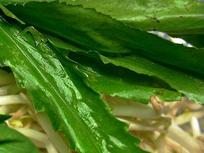 Culantro leaves